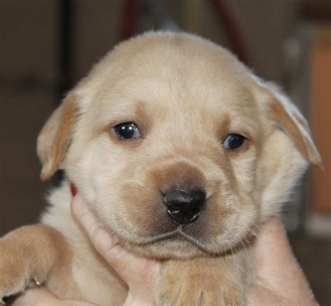 lab puppies for sale in ga lab puppies for sale labrador retirever breeders in damascus way labradors