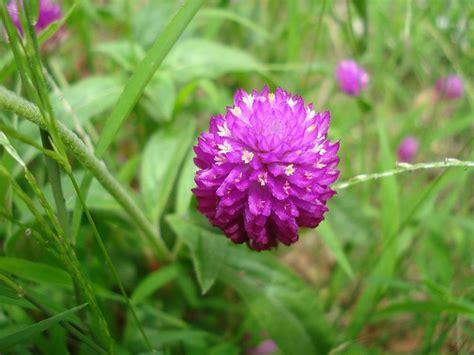 vada mulla flower bachelors button flower vada mulla