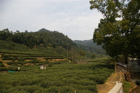 Teh Longjing s peak and the wangs tea and the environment