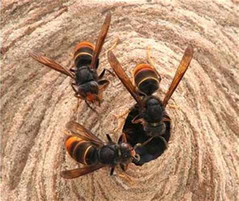 asian hornet bee aware