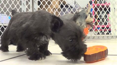 puppies okc miniature schnauzer puppies for sale in oklahoma city oklahoma ok warr acres