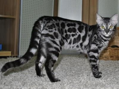 bengal house cat bengal house cat breed info facts petmd petmd