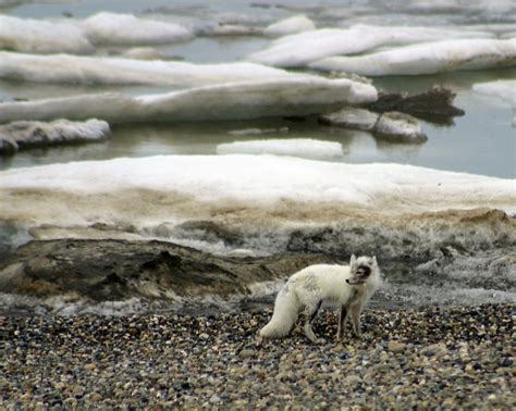 arctic fox wikipedia the free encyclopedia 17 best images about arctic fox on pinterest snow