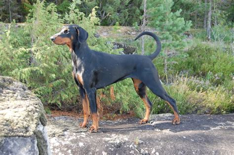 doberman pinscher with uncropped ears