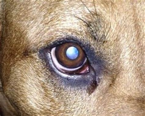 dogs eye weeping weepy watery 2 safety 2 safety