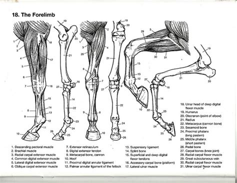 anatomy coloring book muscles the forelimb flickr photo