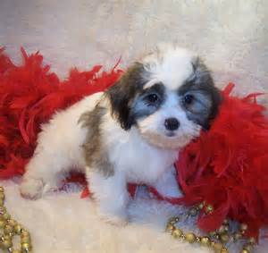 Meet gorgeous shih poo a cute shih poo shihpoo puppy for sale for