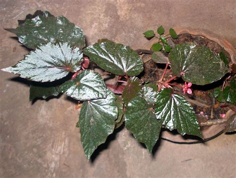 Begonia Planters by File Begonia Plant 16 Jpg