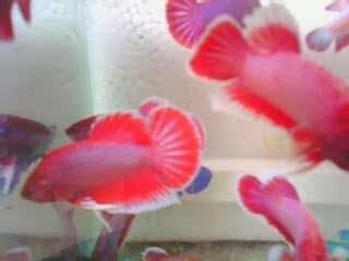 Khusus Grosir Black Udang Hias Grosir ornamental fish jual ikan cupang hias harga murah khusus grosir