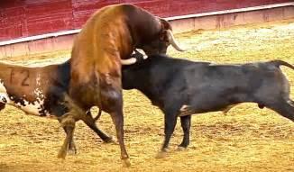 imagenes de toros espectacular la bravura de los quot miuras quot en valencia y