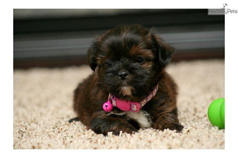yorkie puppies for sale in sioux city ia shorkie puppy for sale near sioux city iowa f002a198 d0b1
