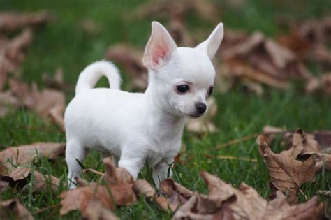 white chihuahua puppies oh my god get in my pocket i shall him and hug him and squeeze him and call