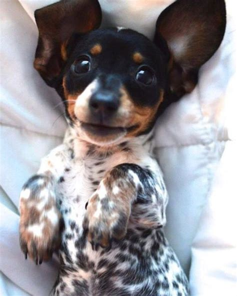 spotted dachshund puppies 20 smokin wiener pics you should totally on snapchat smileys for and