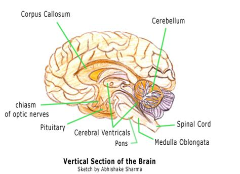 which section of the brain is concerned with reasoning tag cross section human brain model archives human