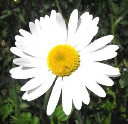 daisy flower ox eye daisy flower 169 seo mise geograph britain and ireland