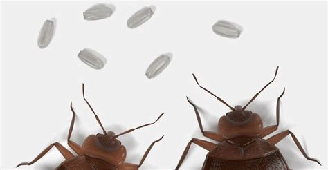 spotting bed bugs 122 best images about bed bugs on pinterest skin rash