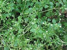 Lavendel Hnliche Pflanze 5704 gew 246 hnliche vogelmiere