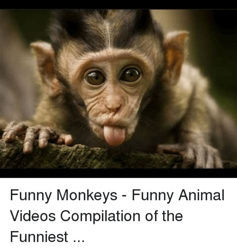 Funny Meme Videos - funny monkeys funny animal videos compilation of the