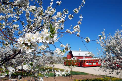 flower festivals brighten season