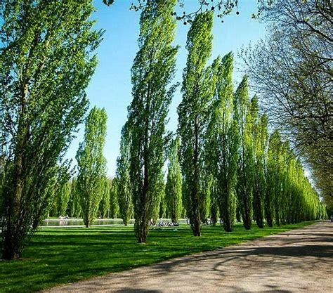 your guide to poplar trees the tree center