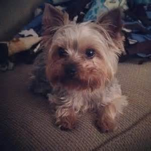 owning a yorkie 5 reasons i will always own a yorkie unbelievab ly