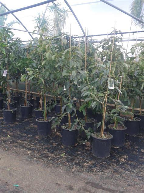 piante ricanti da terrazzo piante ricanti in vaso piante aromatiche in vaso vivaio