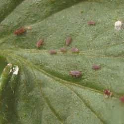 top ten garden insect pests patterson greenhouses