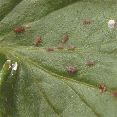 identify garden pests top ten garden insect pests