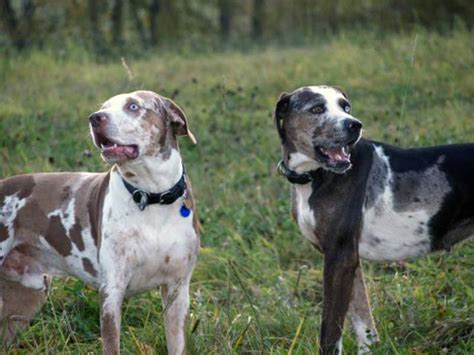 Catahoula Shedding by Catahoula Leopard Cur Temperament Breeds Picture