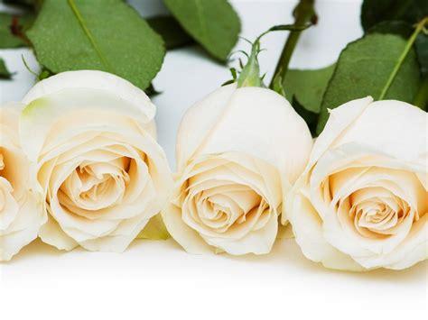 imagenes de rosas blancas gratis rosas familia feliz joven