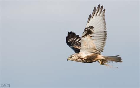 Dekker Fox Standar White Hawk Tanduk flying hawk front