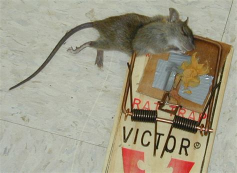 best poison for mice in attic rodents in attics insects in the city