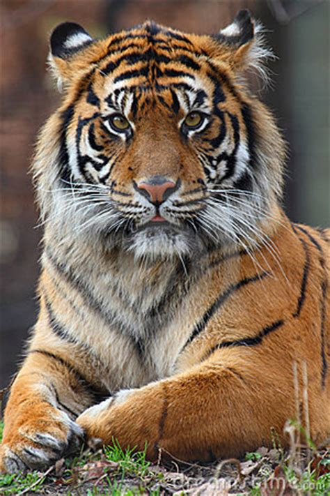 tiger portrait stock  image