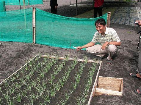 budidaya bawang merah dengan biji sebagai solusi mahalnya