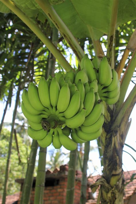 bananas on tree can a banana plant grow fruit how to get banana trees to