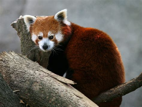 read panda the panda wildlife the wildlife