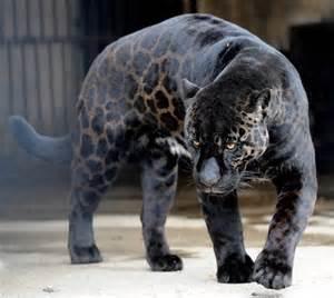 Jaguar Leopard Cheetah Panther Albinism And Melanism Bioventures