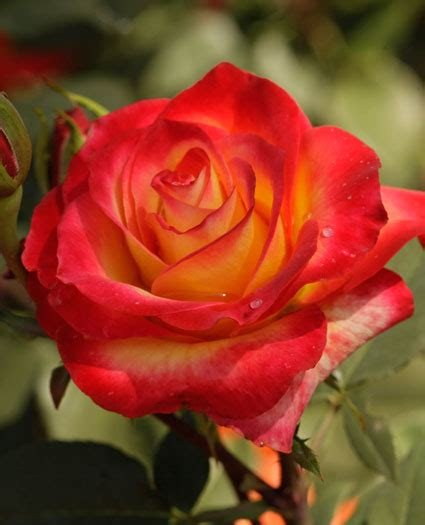 perfect moment hybrid tea rose