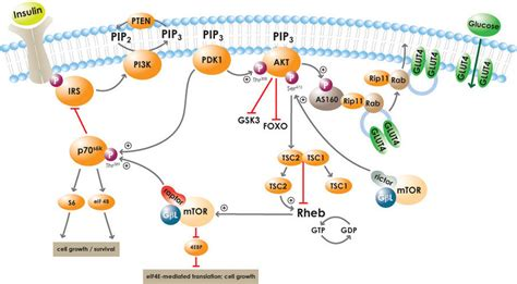 c protein insulin diabetes and insulin signaling cayman chemical