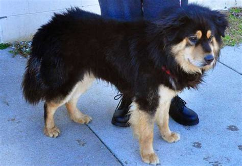 rottweiler mix with chow all about the rottweiler chow mix facts information
