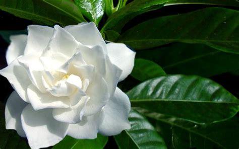 gardenia fiore gardenia rubiaceae come curare e coltivare la vostra