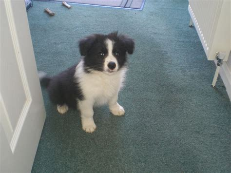 10 week puppy border collie puppy 10 weeks beauitful nottingham nottinghamshire pets4homes