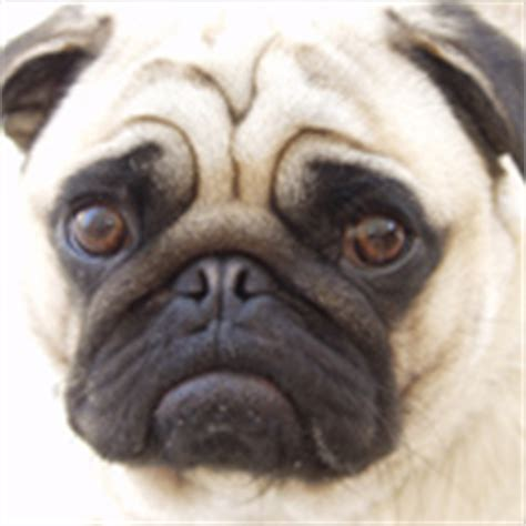 pugs brachycephalic the pug an exle of exaggerated features rspca australia