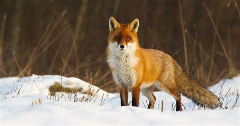 imagenes de paisajes con zorros zorro culpes culpes especie cineg 233 tica y predador