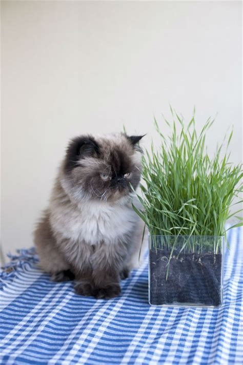 himalayan cats best 25 himalayan cat ideas on pretty cats