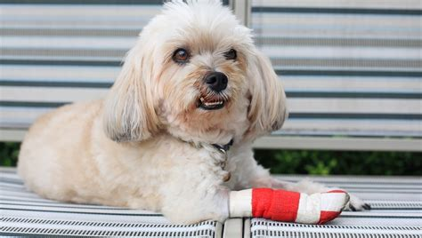 squamous cell carcinoma in dogs squamous cell carcinoma in dogs symptoms causes treatments finder tips