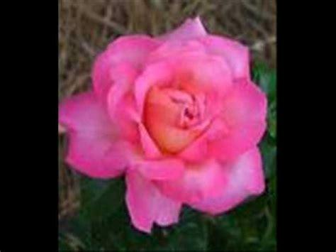rose tattoo lyrics perry como perry como rose tattoo k pop lyrics song