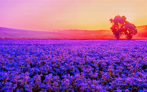 wallpaper lavender farm purple blossom sunset