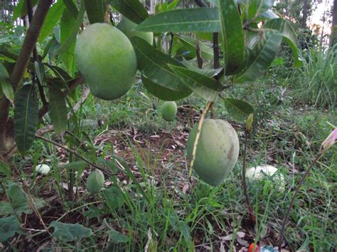 tropical fruit trees forum tropical fruit trees successfuly grown in sydney