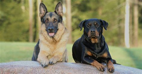 rottweiler german shepherd mix german shepherd rottweiler mix breed facts information